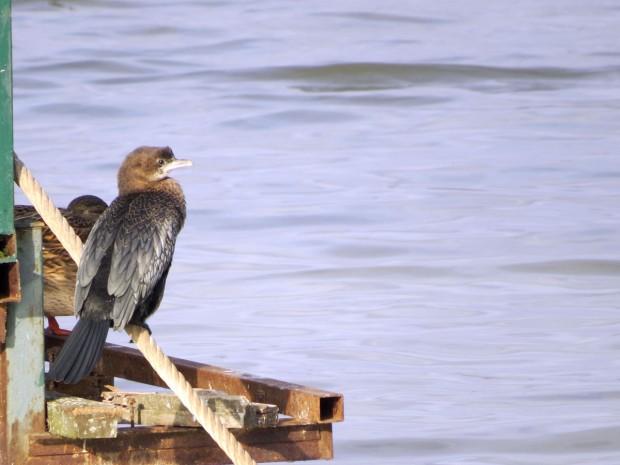 Mali vranac